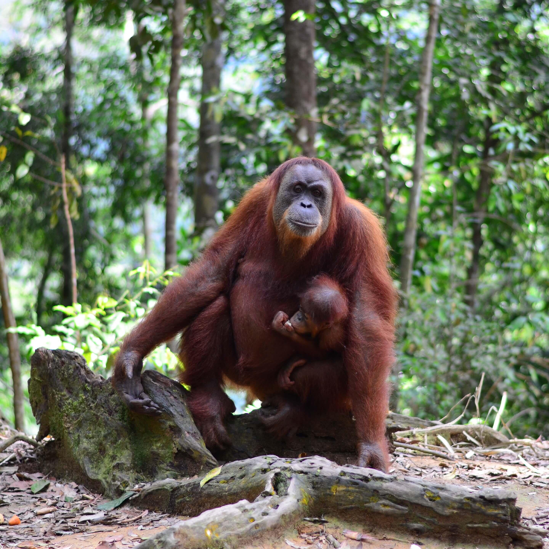 Perseguida por un orangután