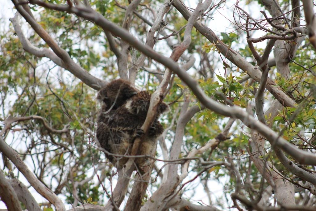 Koalas en un árbol
