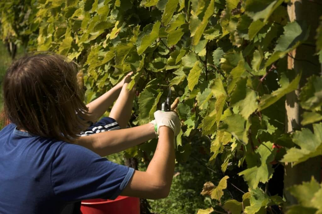 Personas trabajando en una viña