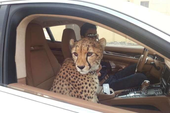 Chita en un auto en Dubai