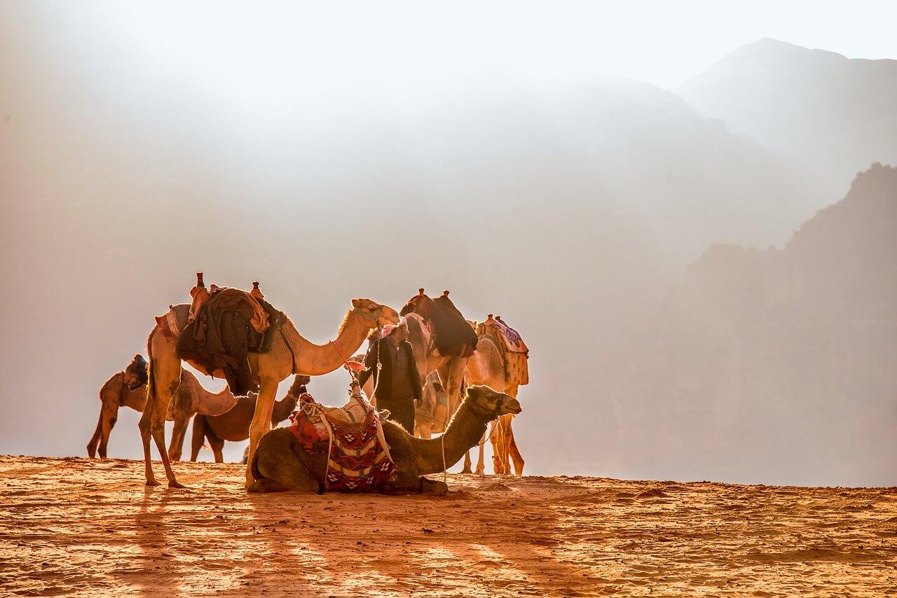Camellos en Jordania