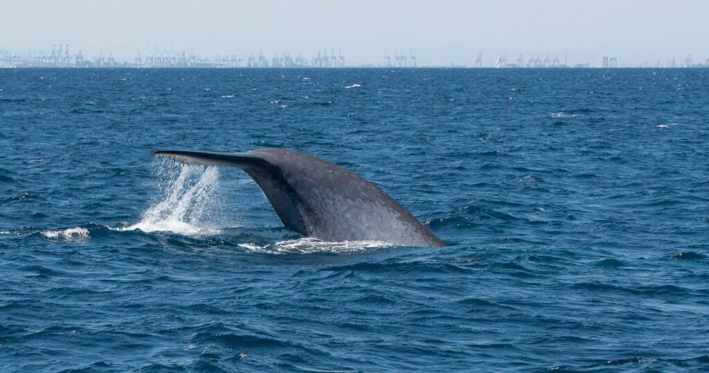 Ballena azul - Sueños viajeros