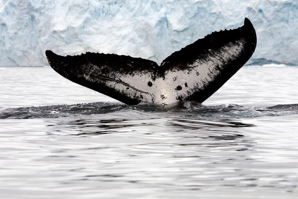 Ballena minke en la Antártica