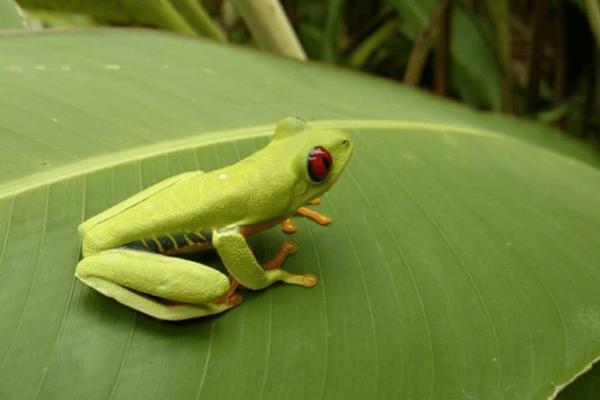 Rana verde de ojos rojos en Costa Rica - Sueños Viajeros