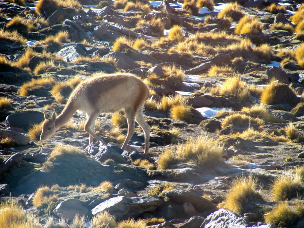 Fauna en San Pedro de Atacama - Sueños Viajeros
