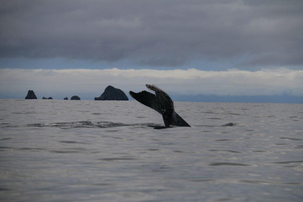 Avistamiento de ballenas en Chocó - Sueños Viajeros