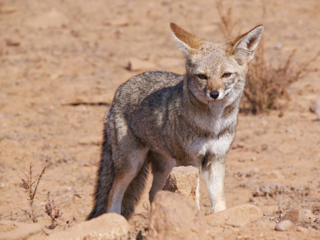 Zorro culpeo en San Pedro de Atacama - Sueños Viajeros