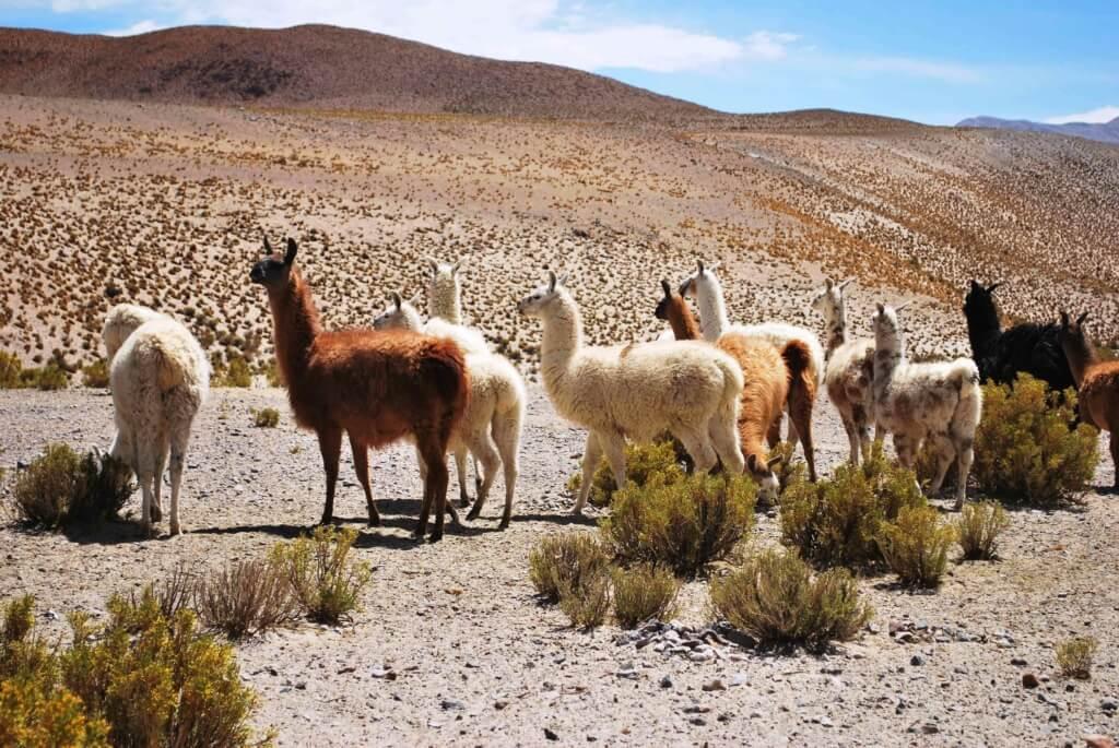 Alpacas en el Parque Nacional Salar de Huasco - Sueños Viajeros